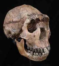 homo-erectus-cranium200