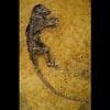 darwinius fossil