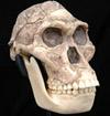 A. africanus skull