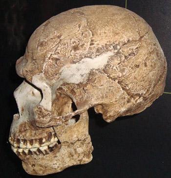 Skhul cranium